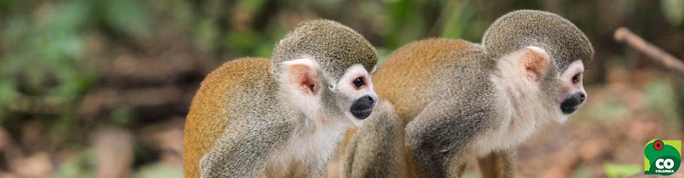 Monos Ardilla, Colombia